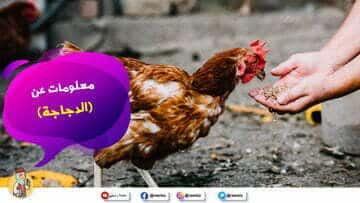 معلومات عن الدجاجة بدون موسيقى من منصة راويتي