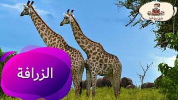 معلومات عن حيوان الزرافة من راويتي تروي قصة