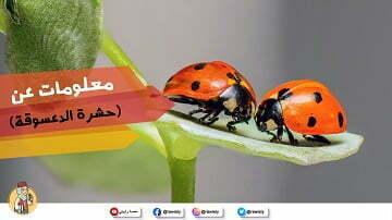 معلومات-عن-حشرة-الدعسوقة