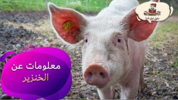 معلومات عن حيوان الخنزير للاطفال