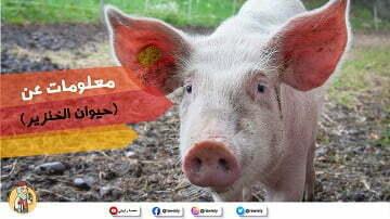 معلومات-عن-حيوان-الخنزير