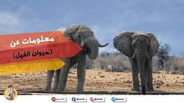 معلومات-عن-حيوان-الفيل-للاطفال