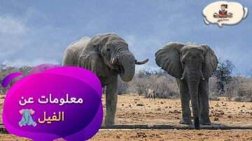 معلومات-عن-حيوان-الفيل